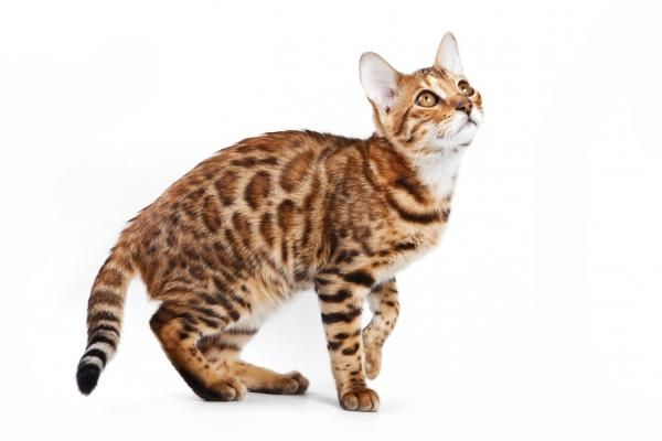What is the Origin of the Bengal Cat? #CatHybrid