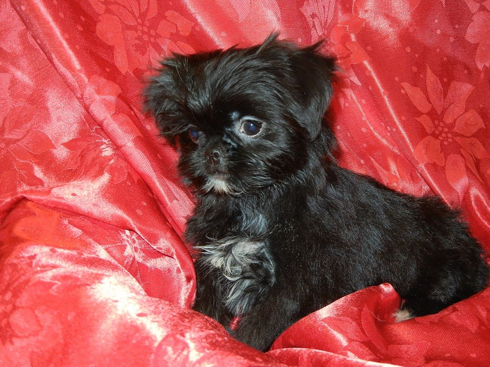 Japanese Chin Yorkshire Terrier Jarkie Puppy Female Born 10 11 11 For More Information Please Contact Fairwood Pet C Yorkshire Terrier Terrier Yorkie Dogs