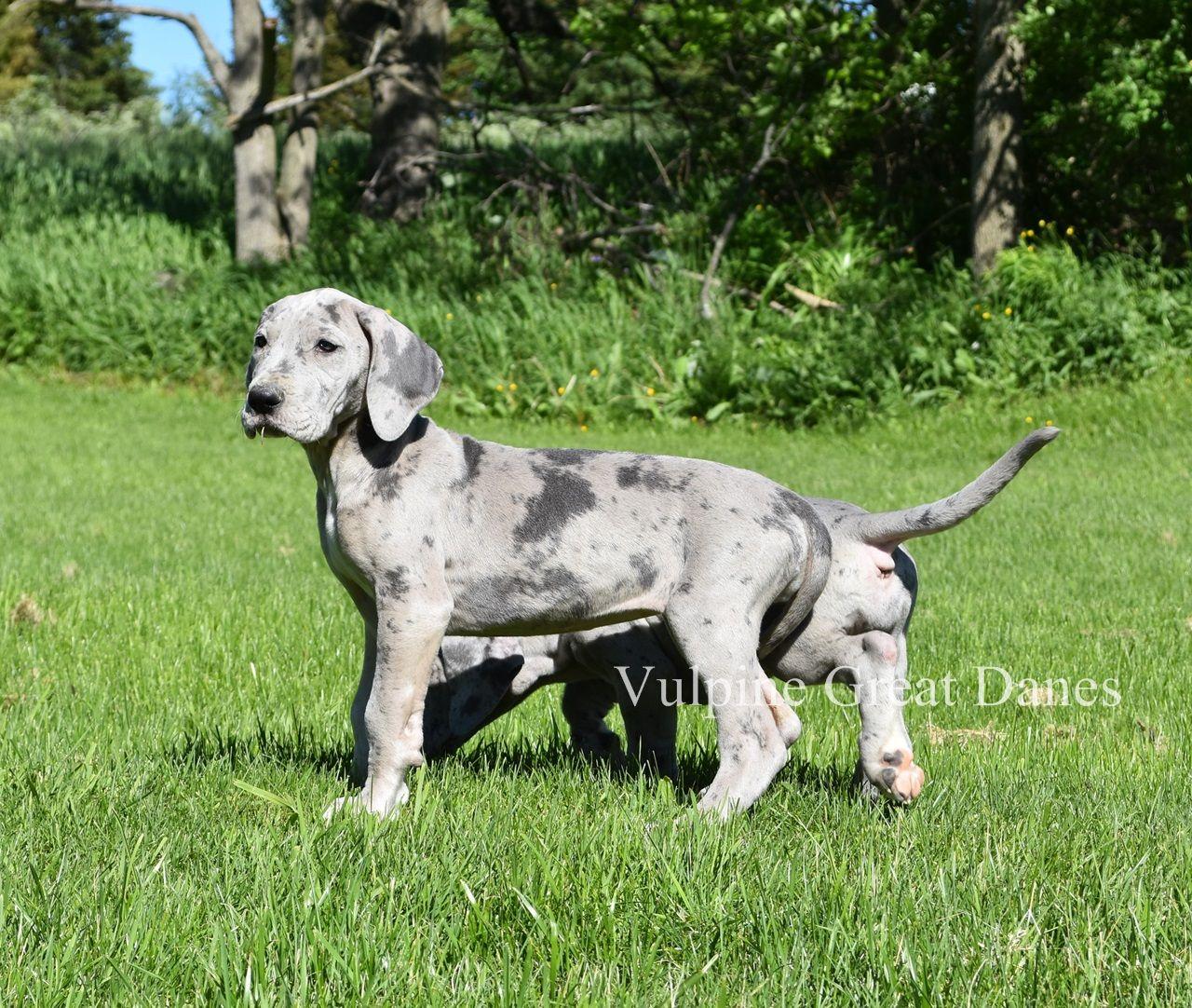 Blue Merle Great Dane Puppy Deutsche doggen, Deutsche