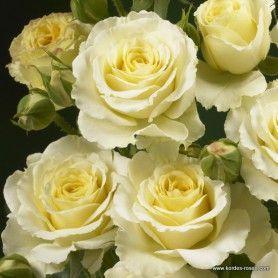 kordes rosen cream bouquet spray roses cutroses schnittrosen die sch nsten rosen der. Black Bedroom Furniture Sets. Home Design Ideas