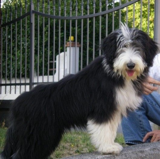 Michelle 4 Months Old Old English Sheepdog Bearded Collie Collie