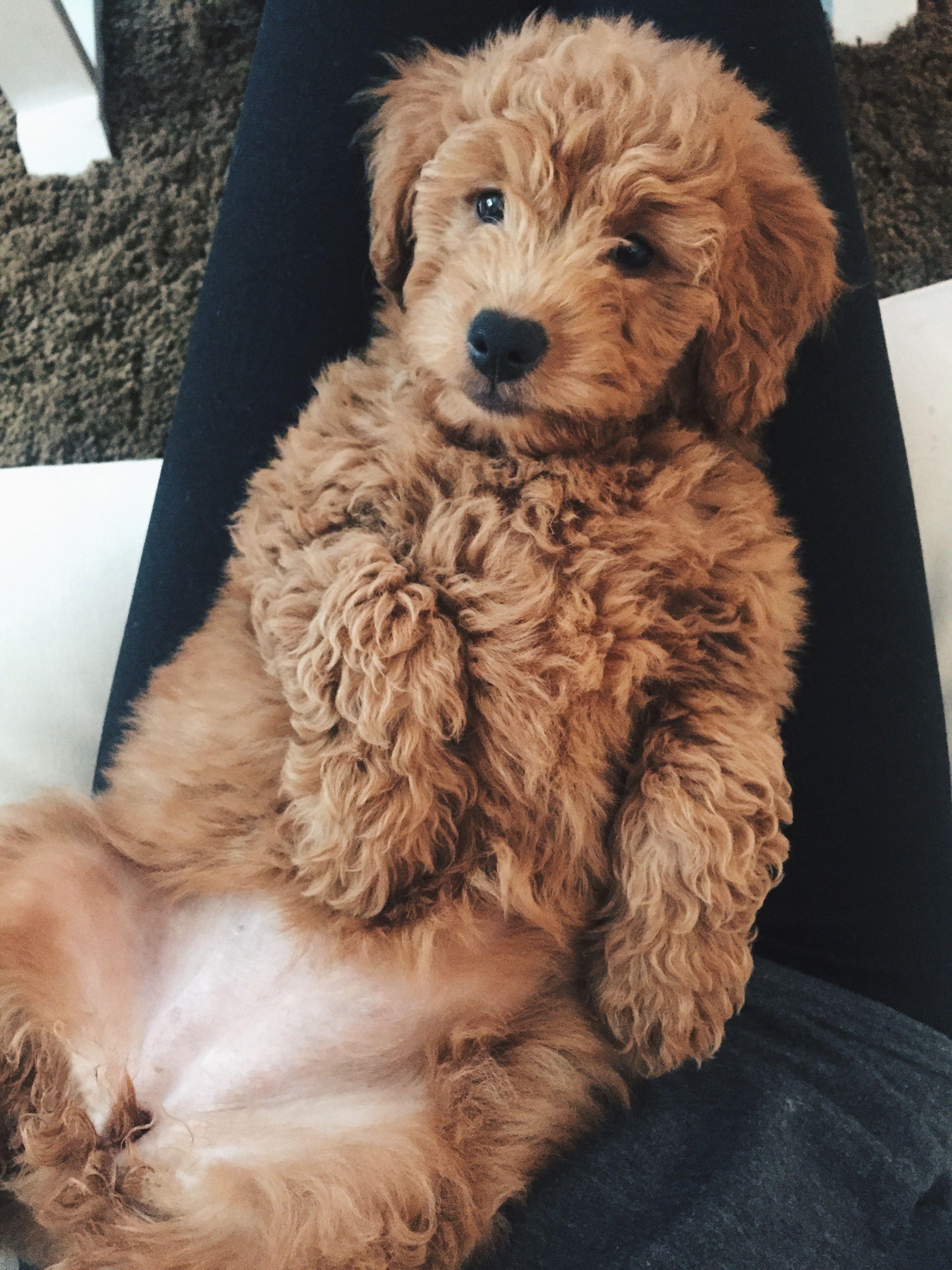 Ig Littlerosiedoodle In 2020 Cockapoo Dog Cute Baby Animals Puppies