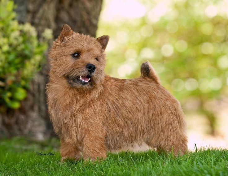 Norwich Terrier By Derek Glas Norwich Terrier Norfolk Terrier