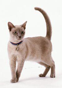 Burmese Burmese Cat Tonkinese Cat Burmilla Cat