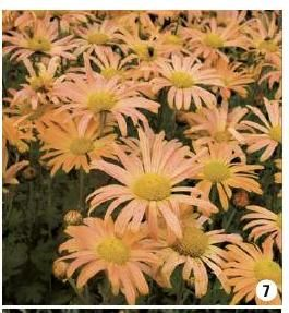 #ClippedOnIssuu from Catalogue Promesse de fleurs PE 2015 Peach colored chrysanthemums ...