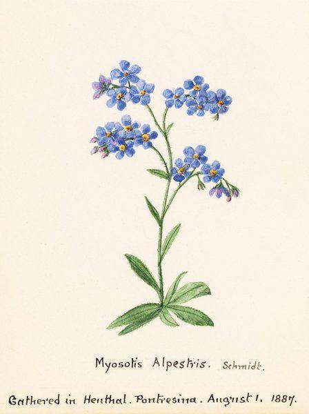 Myosotis alpestris. F.W. Schmidt. Forget Me Not - Sidney Eliza Forster - Kew Gardens Botanical Prints - Kew Botanical Prints