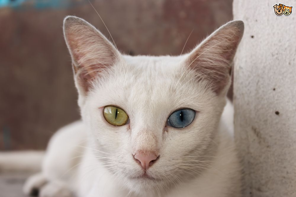 British Shorthair Silver Tabby kittens for sale
