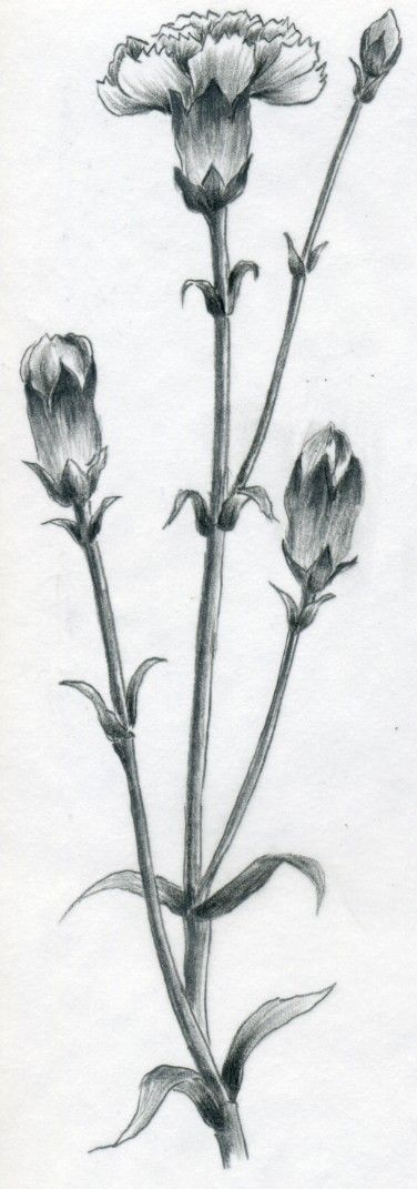 How To Draw Carnation Realistic Flower Drawing Drawings Carnation Drawing