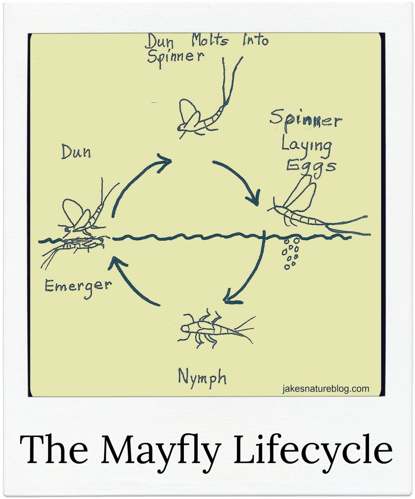 Mayfly Lifecycle Explained For You With A Nice Diagram