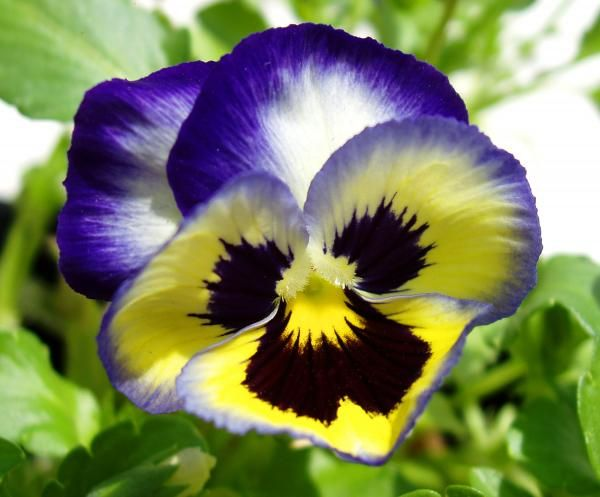 Purple White And Yellow Pansy By Nancy Mueller Pansies Flowers Pansies Hydrangea Not Blooming