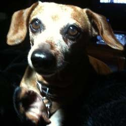"There is more to a senior pet's changing behaviour and appearance than a ""frosty face"". Special thanks to model Freddie, so stunning at fourteen years of age. #doxieposse"