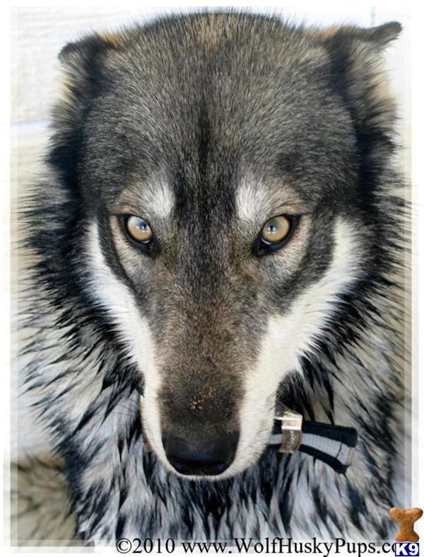Wolf Husky Hybrid Wolf Dog Wolf Hybrid Animals Beautiful