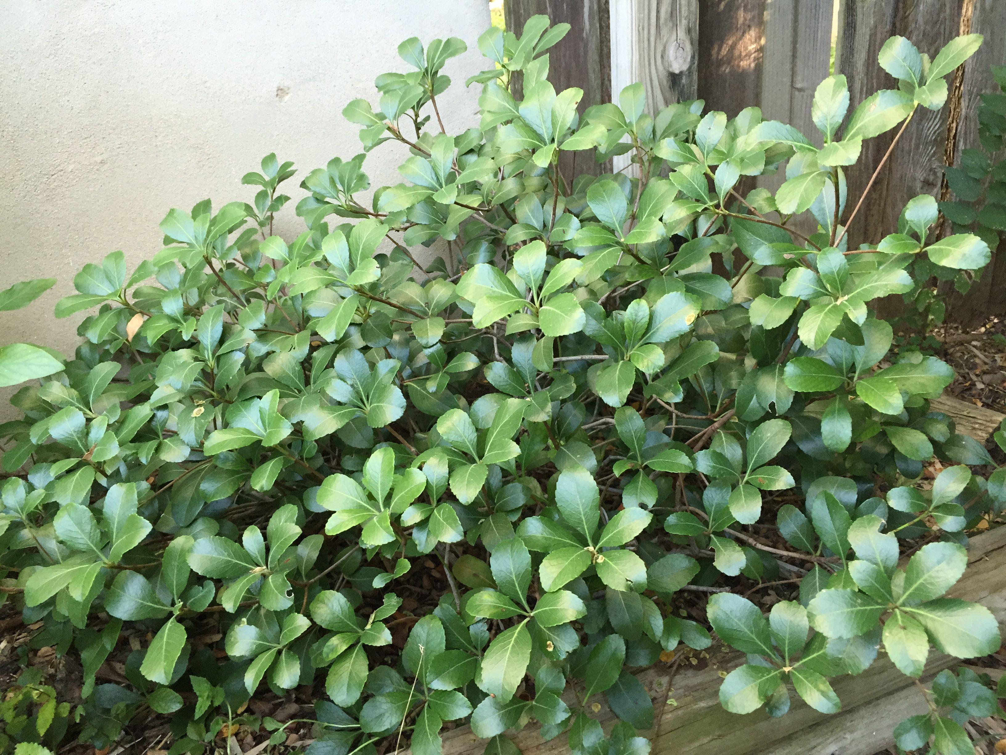 Clara Indian Hawthorn Rhaphiolepis Indica Clara Garden Shrubs Garden Harvest Shrubs