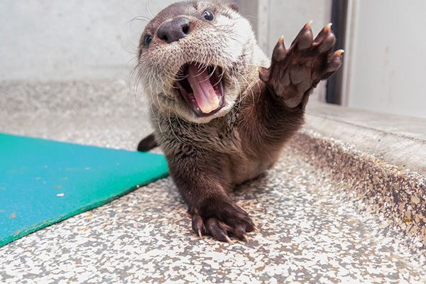 Does Otter Pup Want a Turn with the Camera Or Does He Want to Taste It