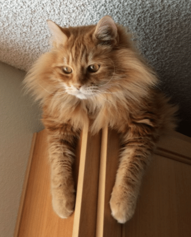 Here Are A Few Fun Facts About The Greatest Breed Among Cats The Orange Tabby Orange Tabby Cats Tabby Cat Orange Tabby
