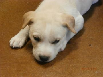 Meet A Available For Adoption In Adoption Labrador Pets