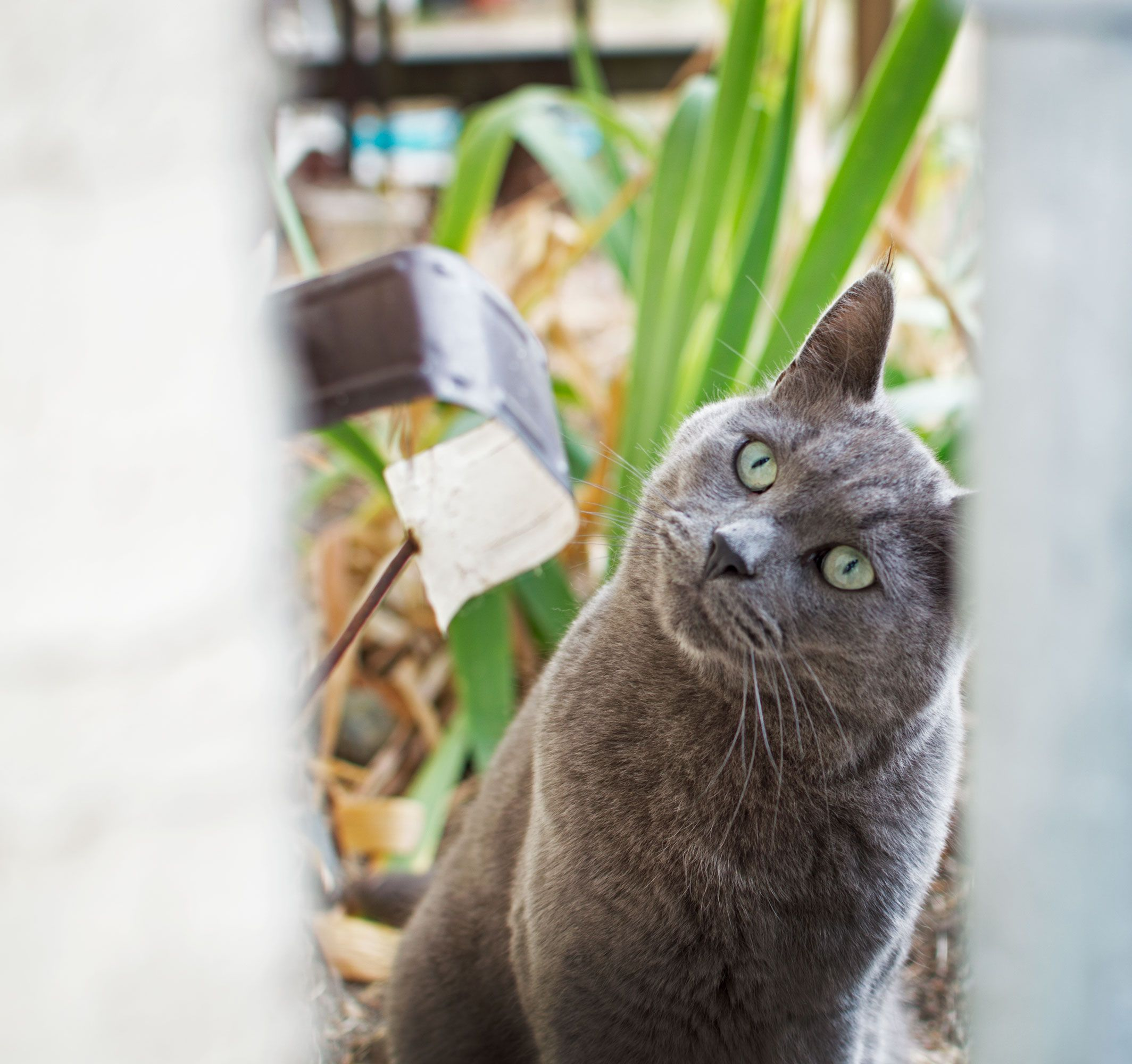 Pet Photography Of A Mischievous Russian Blue Cat This Photo Was Shot With A 35mm Lens On A Nikon D3200 In Victoria B Russian Blue Cat Russian Blue Grey Cats