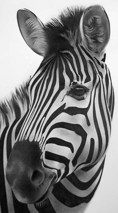 Zebra drawing | Drawings | Zebra art, Zebra drawing, Wild ...