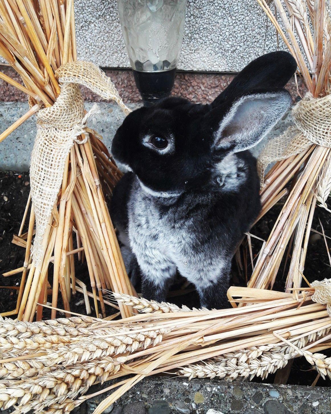 Elevage Minirex Rabbit Suisse