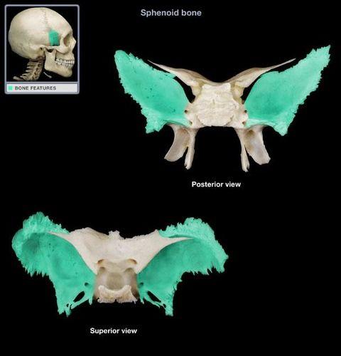 Anatomy & Physiology Lab Quiz 3- Skeletal system Flashcards ...