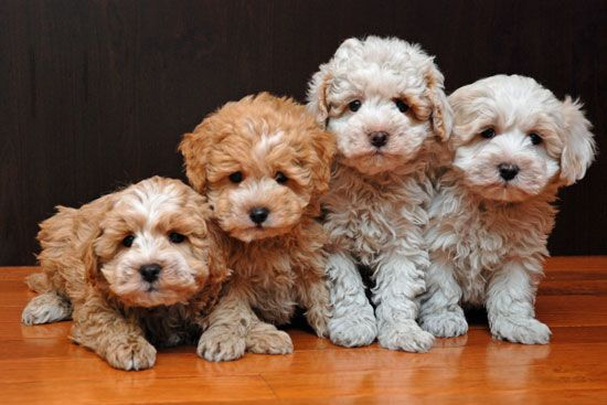 Coton Poo Puppies For Sale With Images Puppies Puppy Love
