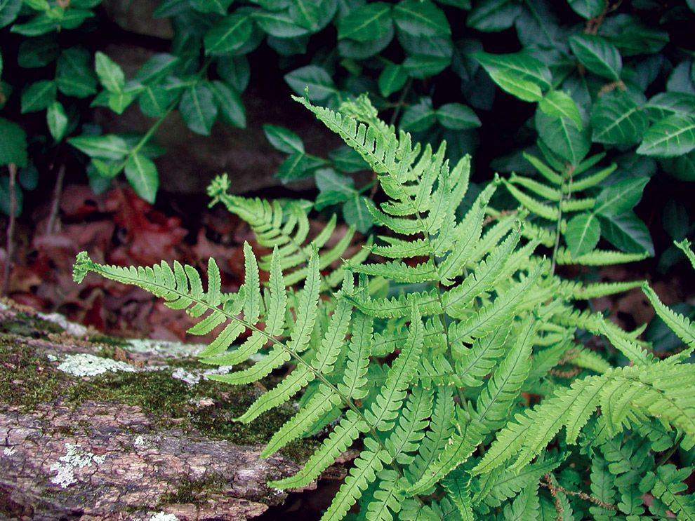 Ferns For Southern Gardens   State By State Gardening