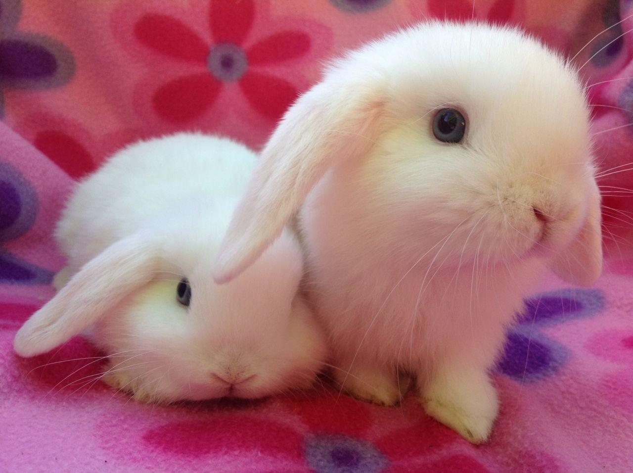 Gorgeous Mini Lop Bunnies Croydon Surrey Pets4homes Mini Lop Mini Lop Bunnies Lop Bunnies