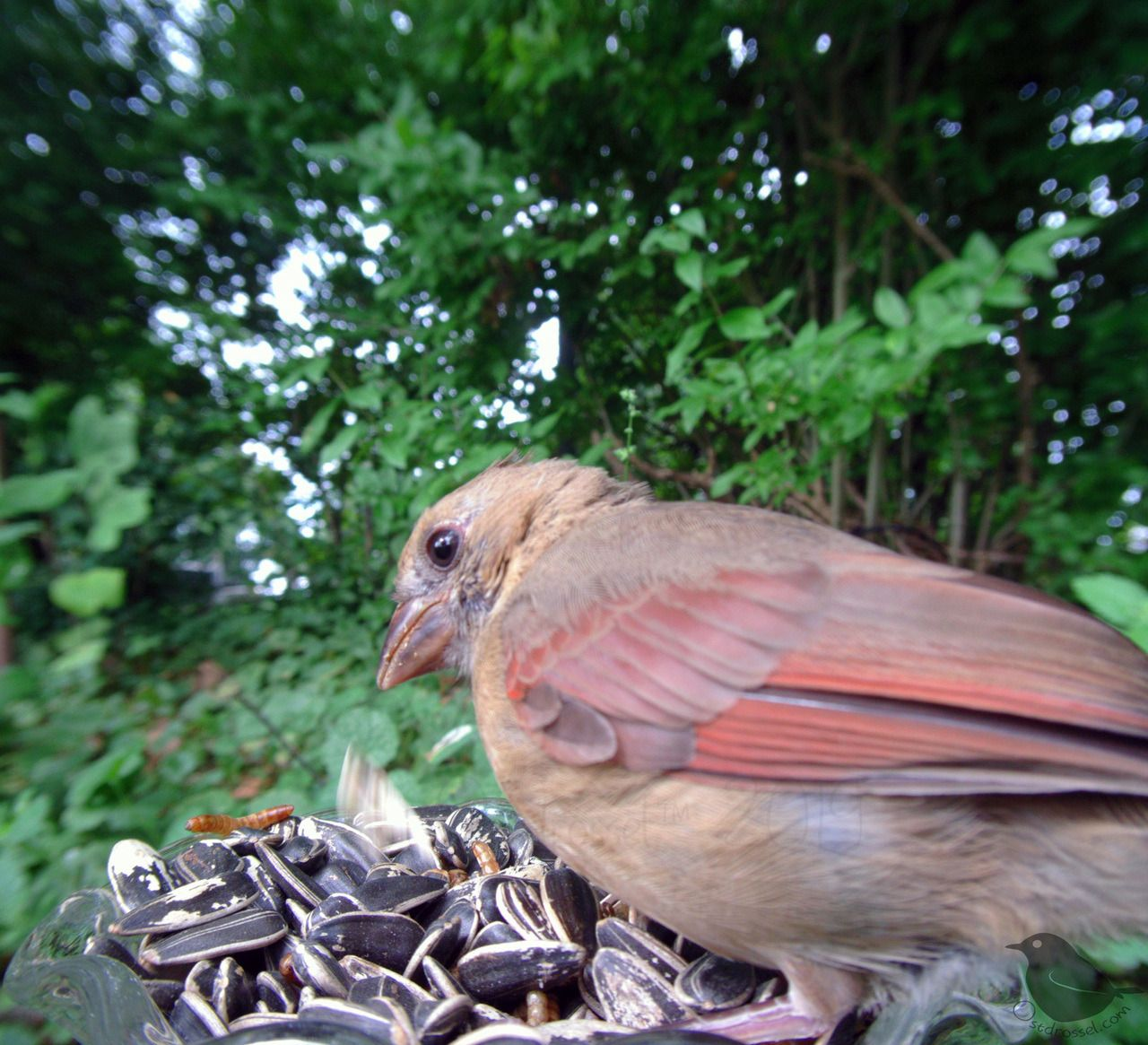Baby girl made it to the bowl! Her gorgeous looking brother is still too shy.  - #america #baby #birdlovers #birdphotography #birds #birdwatching #Cardinal #Cardinals #GitUp #michigan #NATURE #north #Northern #of #young