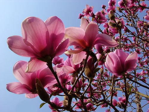 Magnolias My Favorite Flower Can T Wait To Plant These In My Yard Someday Beautiful Trees Magnolia Flower Trees To Plant Magnolia Trees