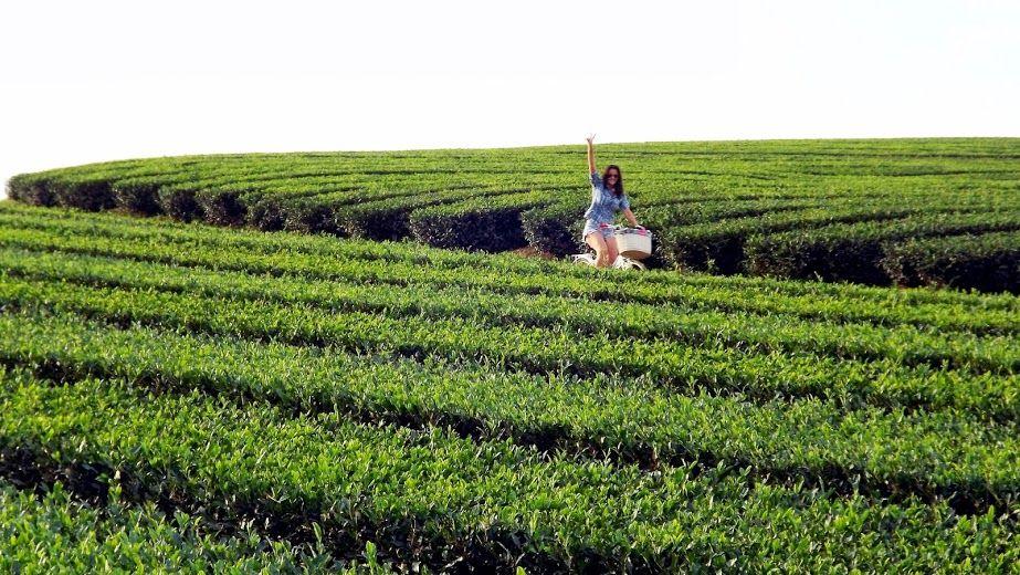 plantação de chá verde, em Guajuriva