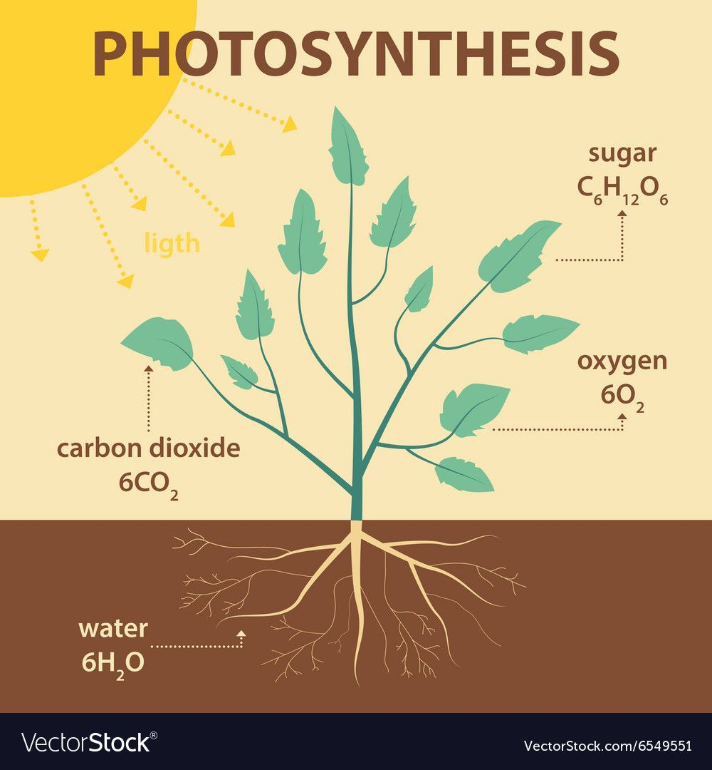 Diagram Of Photosynthesis In Plants Fresh Schematic Diagram Photosynthesis Plant Royalty Free Vector In 2020 Photosynthesis Forest Color Plant Vector