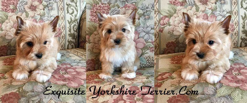 Yorkshire Terrier Puppies For Sale Va Yorkshire Terrier Puppies Yorkshire Terrier Terrier