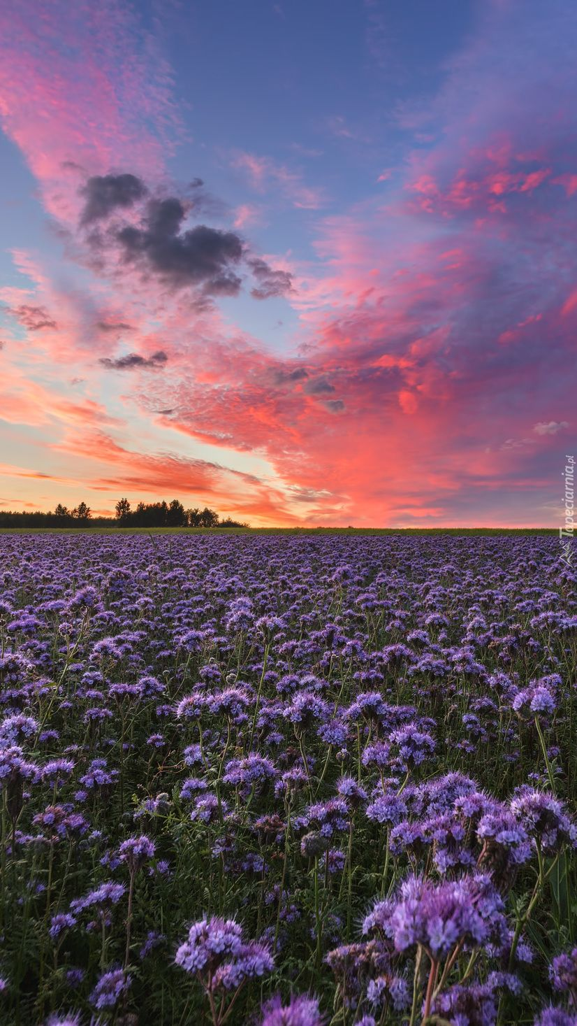 Fioletowe Kwiaty Na Lace Tapeta Na Telefon Nature Aesthetic Sky Aesthetic Nature Photography
