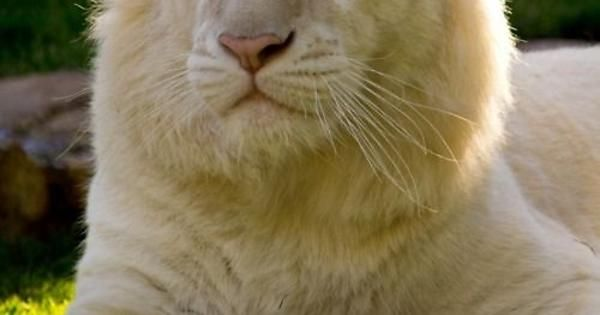 White Lion - Looking Very KINGLY ! http://ift.tt/2d515pO
