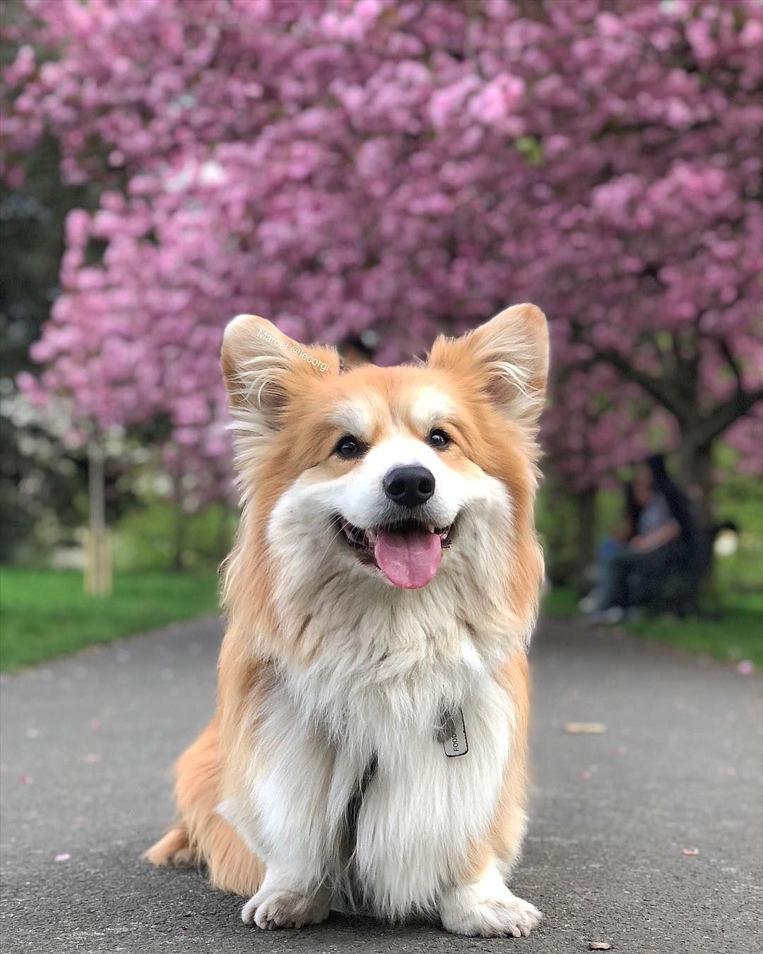 Marcel Le Corgi London On Instagram Happy Fluffing