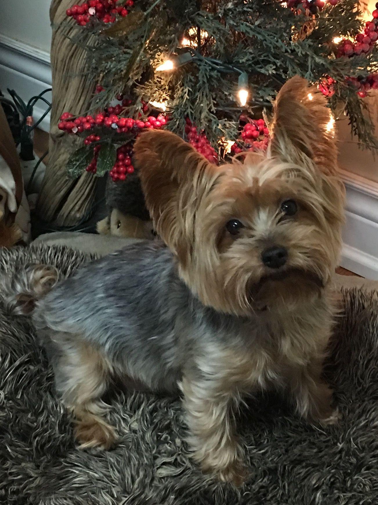 Sweet Yorkie! yorkshireterrier Yorkshire terrier