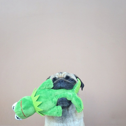 this pug is way too cute.