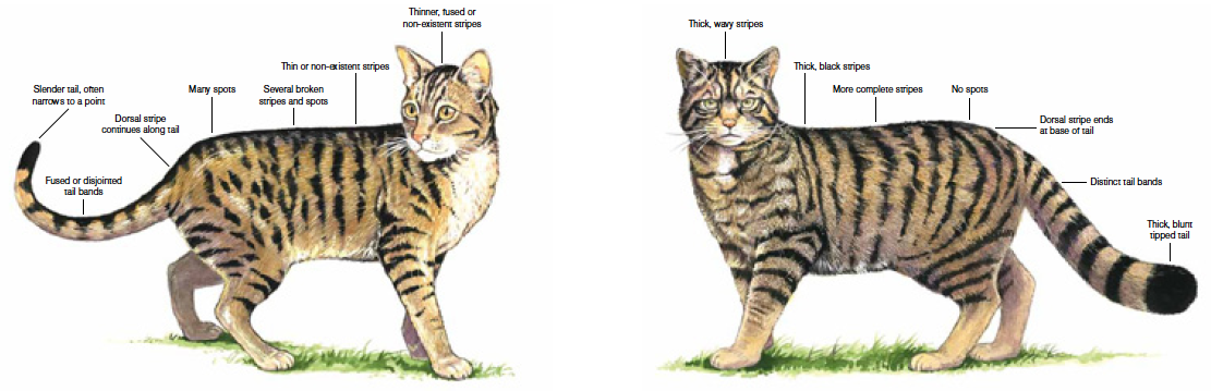 Phylogenies of wild and domesticated cats
