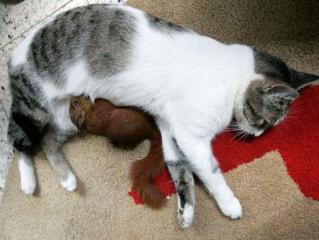 Image result for red squirrel with cat