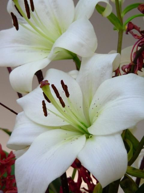image of white lily flowers jpg   flowers n 2   Pinterest   White     image of white lily flowers jpg