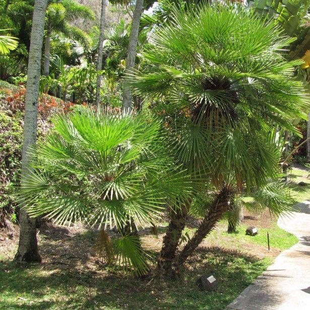 chamaerops humilis - palmier nain | jardin | pinterest | palmier