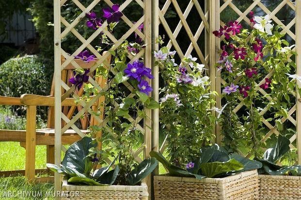 Kwiaty Balkonowe Najladniejsze Pnacza Do Uprawy Na Balkonie I Tarasie Zdjecia Outdoor Structures Clematis Plants