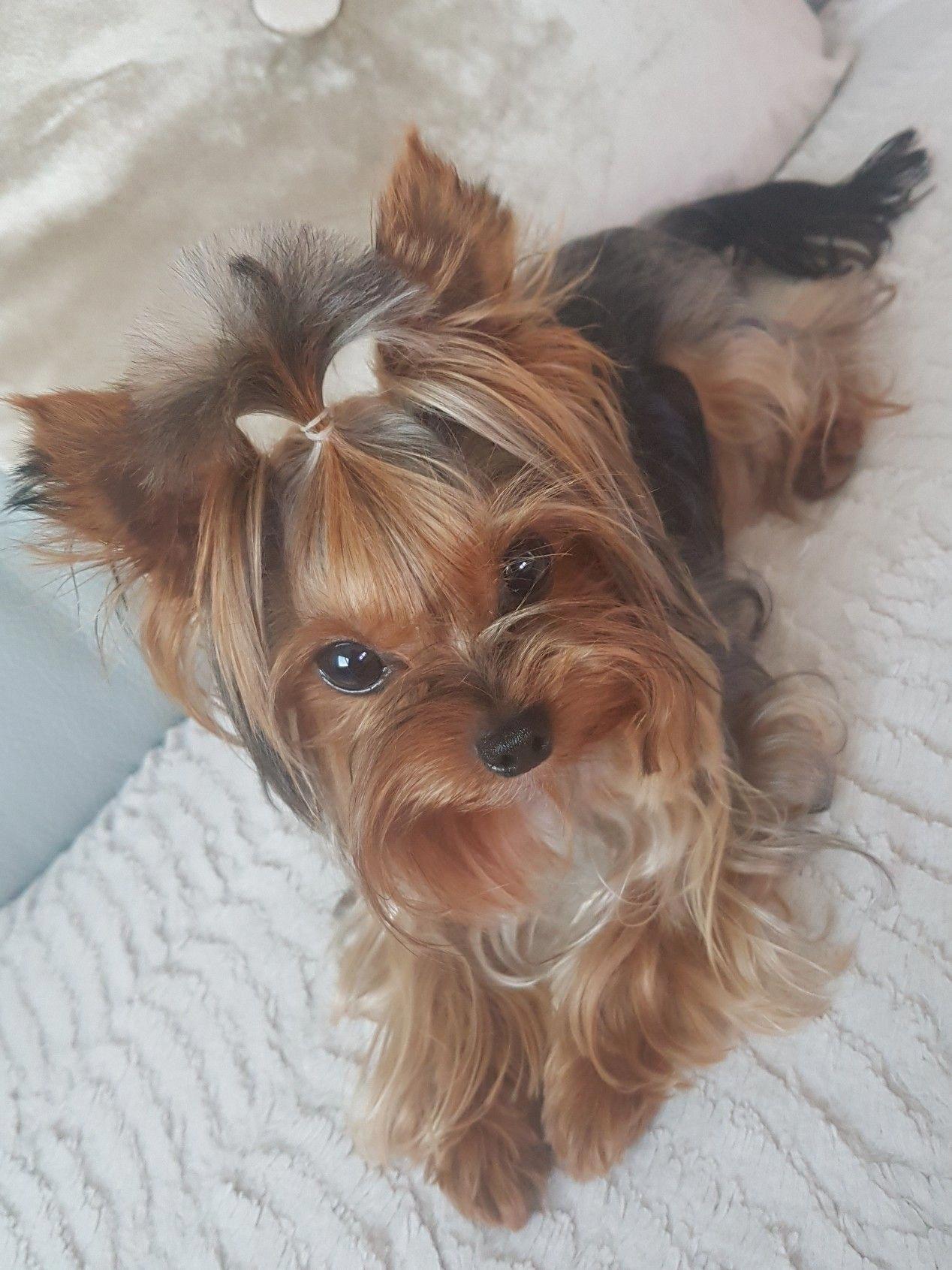 I Love Me A Yorkie Yorkshire Terrier Puppies Yorkshire Terrier Yorkie Puppy
