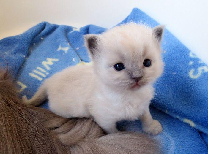 Blue Mink Girl From Pepsi S Litter Just A Little Kitten Right Now She Is 4 Weeks Old By Zelkova Ragdolls Ragdoll Cat Breeders Ragdoll Kitten Kittens