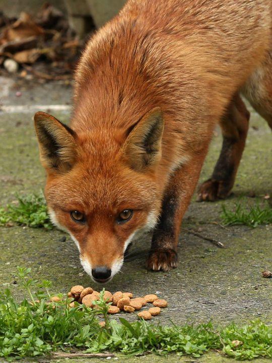 Inside the secret world of London's urban foxes Cute