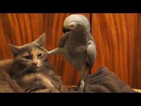 Amazon Parrots as Pets | Veterinarians.com