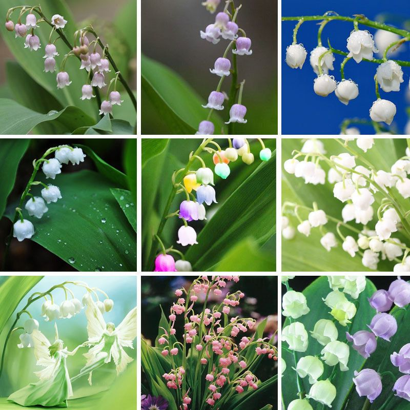 200pcs Bell Orchid Seeds Campanula Flowers Potted Flower Plants Seeds Flower Seeds Orchid Seeds Campanula Flowers