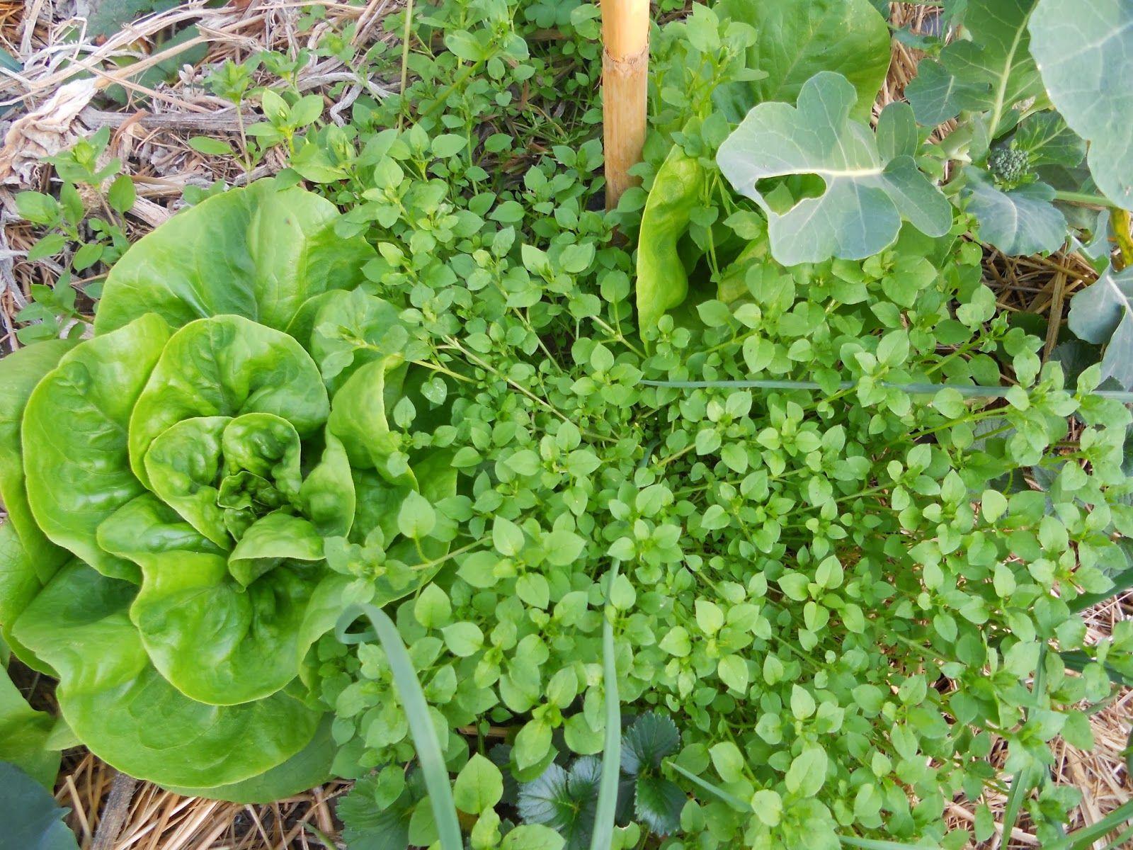 Amici dell 39 orto la gestione delle erbe spontanee nei - Calendario semina fiori ...