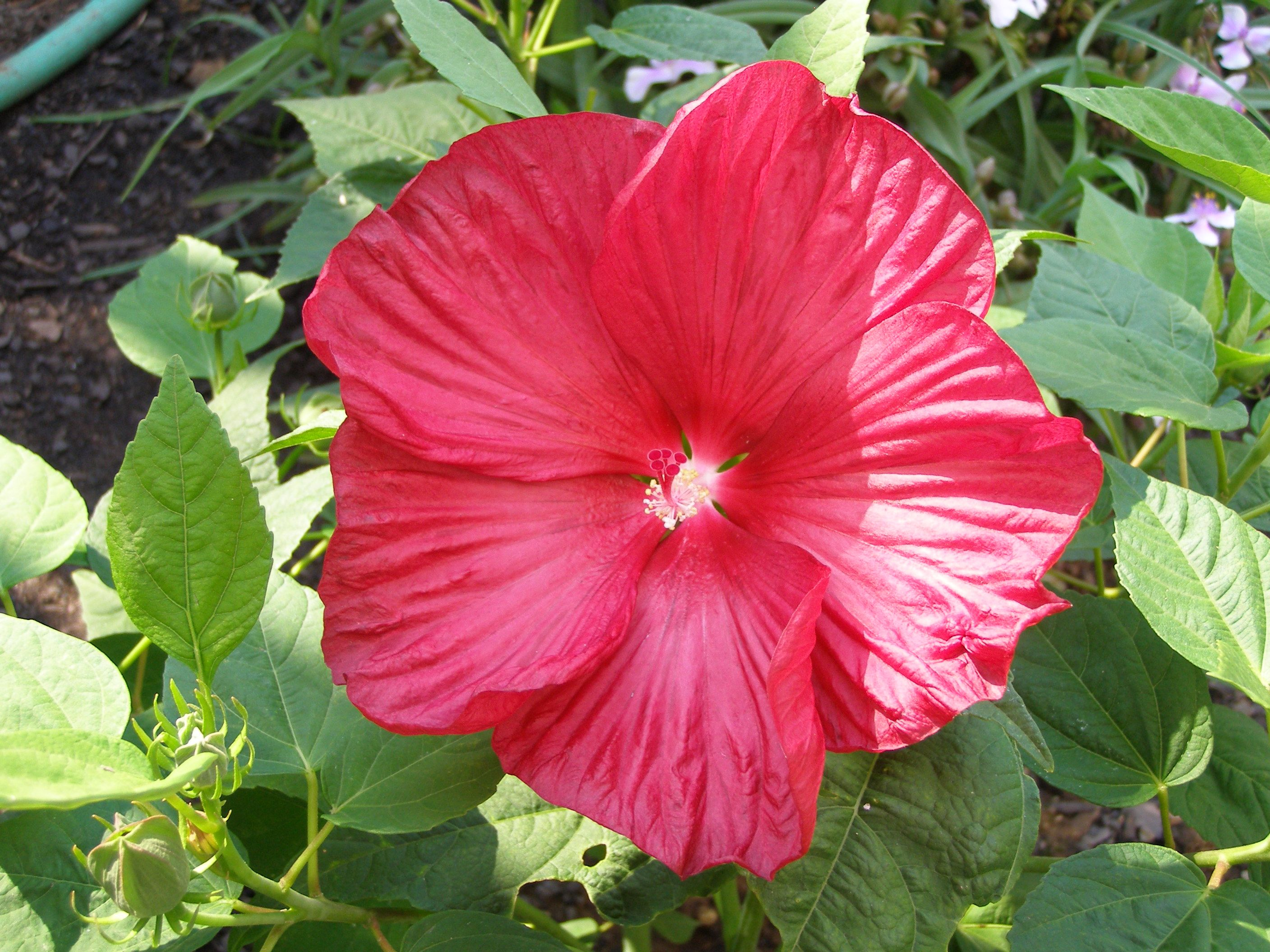 Hibiscus Luna Red I Love Hibiscus Flowers This Is One Of The