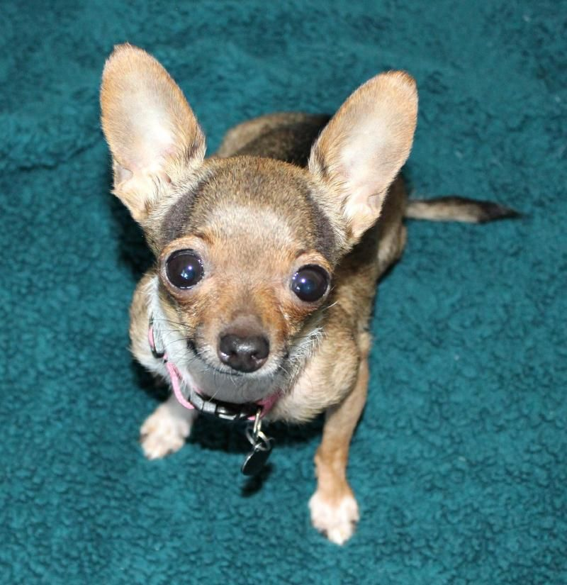 Meet Annie- 2.5 lbs.- Special Needs, a Petfinder adoptable Chihuahua Dog | Temecula, CA | Courtesy listing! Please contact Theresa at treasuredtailsrescue@hotmail.com or call 951 852-7999...